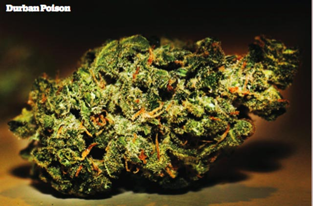 25 Greatest Strains of All Time • High Times