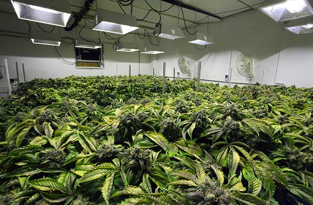 All you need to know about the best indoor marijuana for Grow room design plans