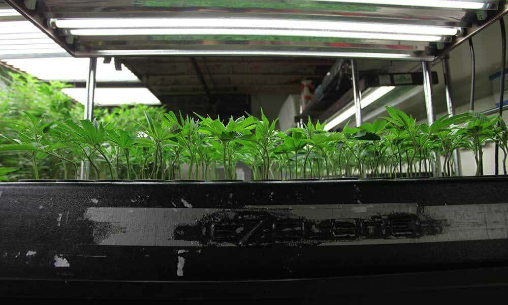 How To Choose Nutrients For Cuttings And Young Clones