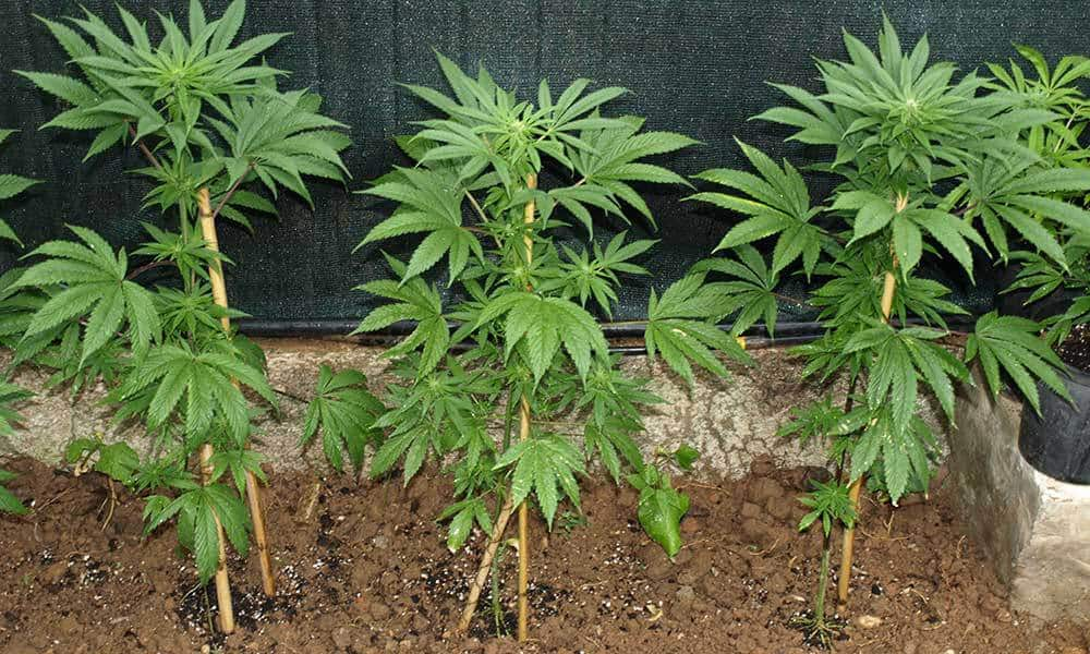 Outdoor Marijuana Growing For Beginners