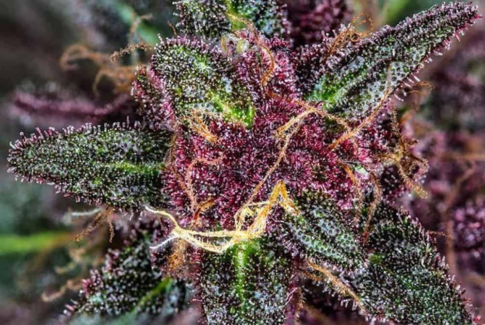 9 Colorful Weed Strains To Brighten Your Day • High Times