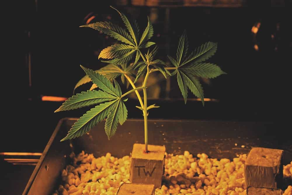 Frequently Asked Questions About Cloning Cannabis