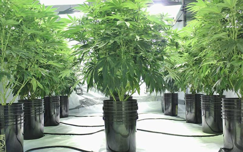 The Importance of Molasses in Cannabis Plant Growth